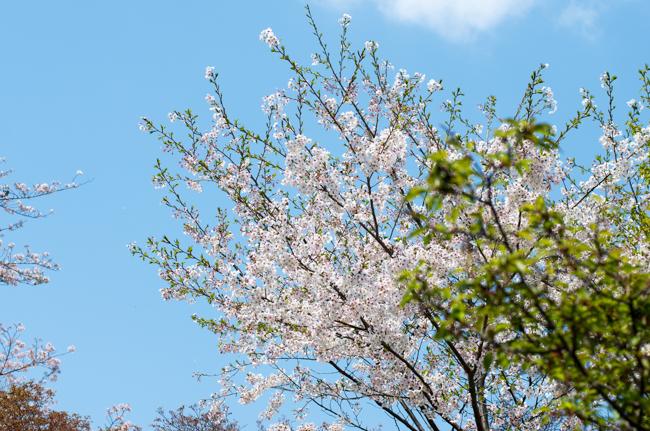 秦野弘法山の桜2017-4