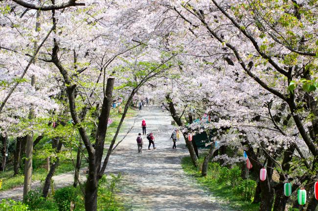 秦野弘法山の桜 子連れハイキング