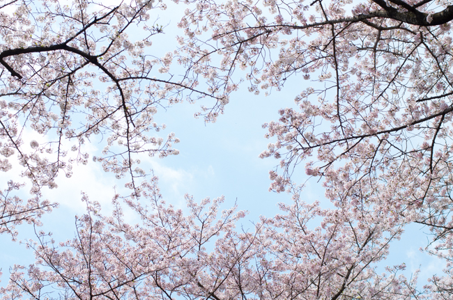 秦野弘法山の桜2017-14