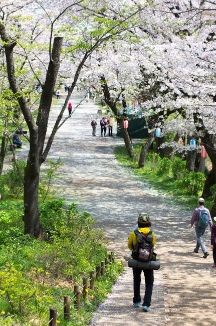 秦野弘法山の桜2017-9
