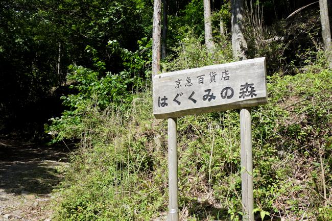 菰釣山のブナ2016-6