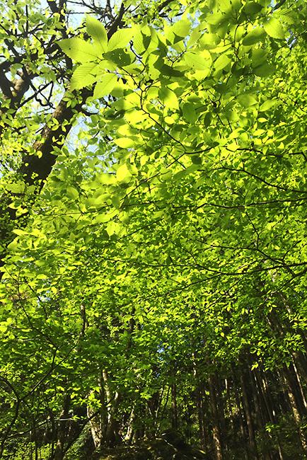 1504海沢探勝路の新緑