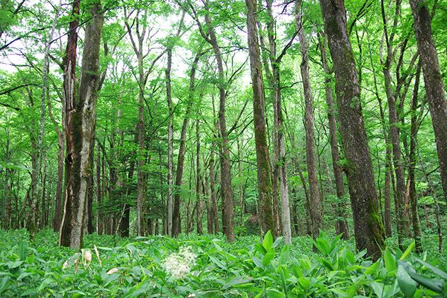 上高地の森1507-3