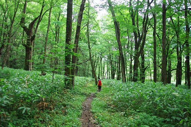 上高地の森1507-2