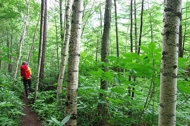 上高地の森1507